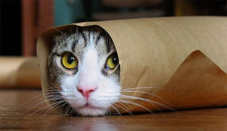 Mèo được thuần hóa từ quãng thời gian lâu hơn rất nhiều so với những gì con người tưởng tượng