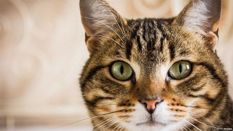 Mèo mướp là gene đột biến chỉ xuất hiện trong thời Trung Cổ.