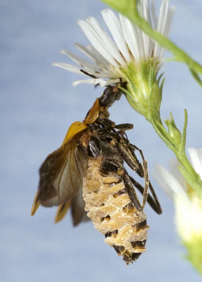 Xác bọ cánh cứng treo trên bông hoa để tăng cơ hội phát tán bào tử nấm.
