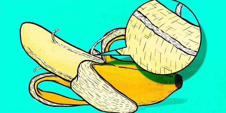 Các bó sợi phloem hoàn toàn có thể ăn được và giàu dinh dưỡng như phần chính của quả.
