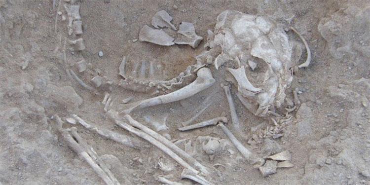 Xương mèo xuất hiện trong nhiều khu mộ cổ.