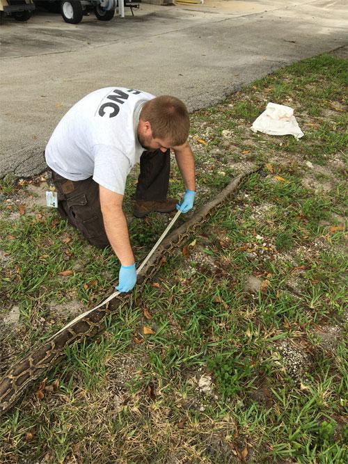 Nhân viên đang đo đạc chiều dài con trăn.