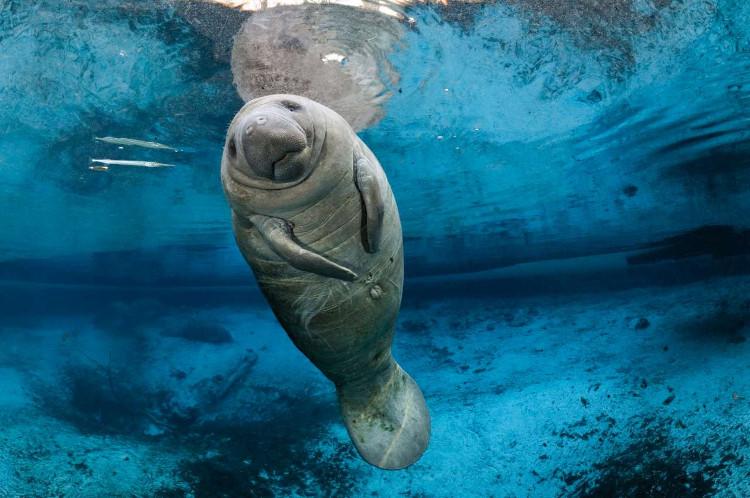 Lợn biển là loài nhút nhát, dễ bị kích động bởi tiếng động mạnh.