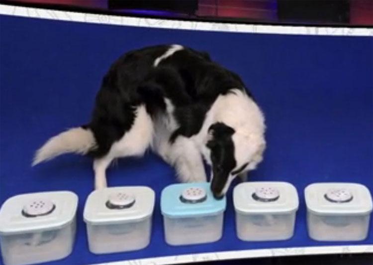 Một chú chó được huấn luyện đánh hơi mẫu nước tiểu chứa tế bào ung thư.