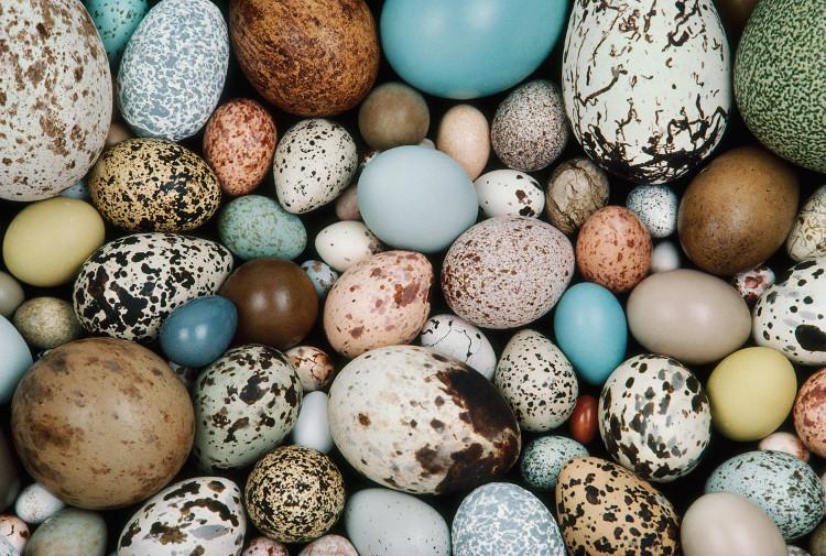 Loại trứng duy nhất không loài chim nào có thể cho ra chính là trứng giống hình dạng khinh khí cầu.