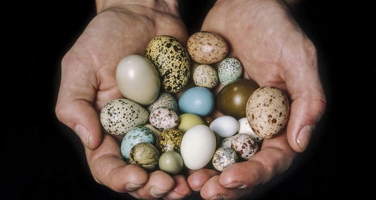 Hình dáng quả trứng phụ thuộc vào khả năng bay của chim.