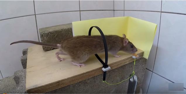 Bẫy chuột kiểu thòng lọng.