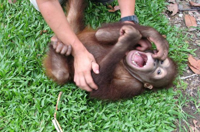 Tinh tinh và khỉ đột có thể phát ra một âm thanh rất giống với tiếng cười khi bị trêu đùa