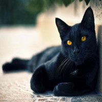 Truyền thuyết về điềm xui xẻo do mèo đen mang lại