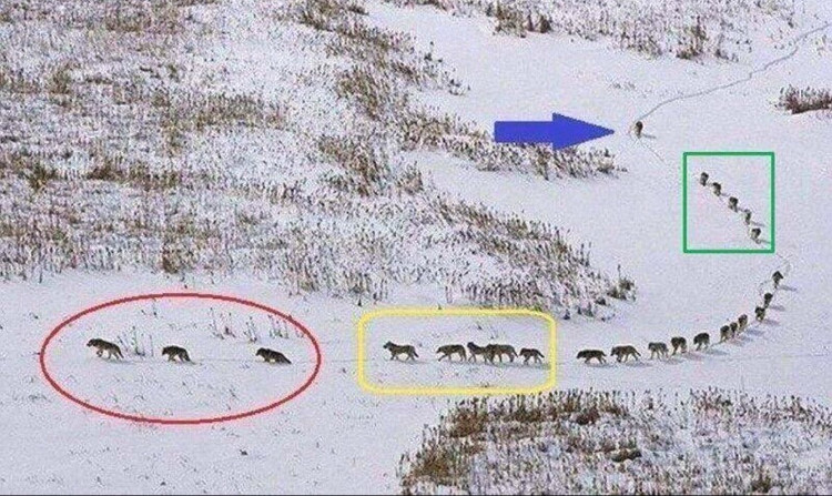 Bức ảnh đàn sói đang gây bão mạng xã hội.