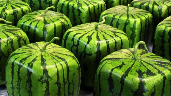 Dưa hấu vuông được nông dân Nhật Bản trồng nhiều do lợi thế về hình dáng của loại quả này.