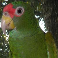 """Phát hiện loài vẹt mới ở Mexico, đầu đội """"vương miện"""" xanh lá cây"""