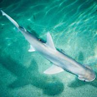 Loài cá mập ăn cỏ nhiều hơn thịt khiến giới khoa học bối rối