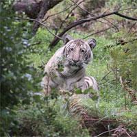Đây là con hổ trắng đặc biệt nhất hành tinh, cả thế giới chỉ có một con