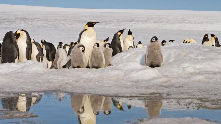 Chim cánh cụt hoàng đế