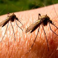 11 lý do muỗi là loài nguy hiểm nhất trên Trái đất