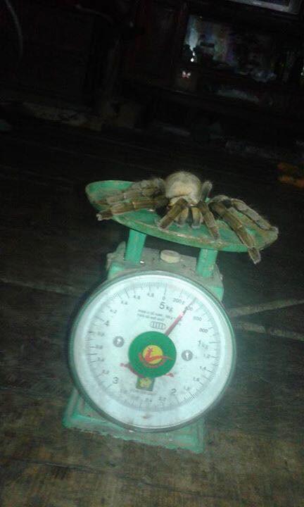 Con nhện có cân nặng 400g, dài khoảng 20cm.