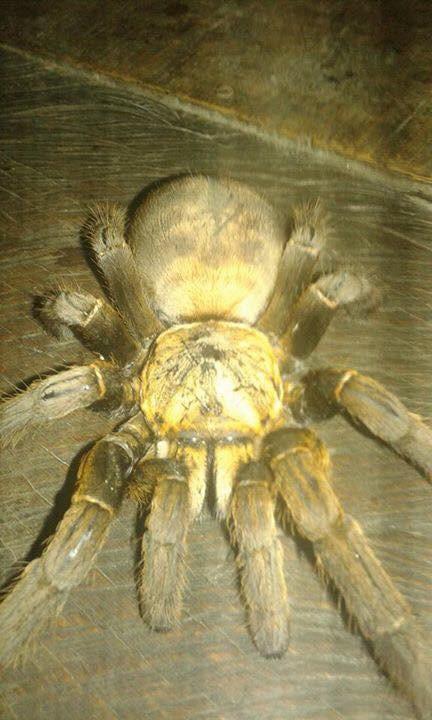 """Hình ảnh con nhện """"khủng"""" ở Hòa Bình."""