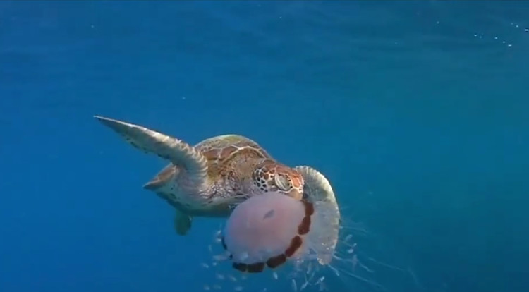 Con rùa xanh cắn xé sứa nhai ngấu nghiến.