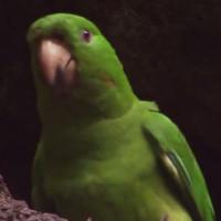 Video: Vẹt con học bay trên miệng núi lửa còn hoạt động