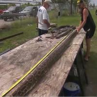 Trăn dài 4 mét, chửa 73 quả trứng lọt tay thợ săn