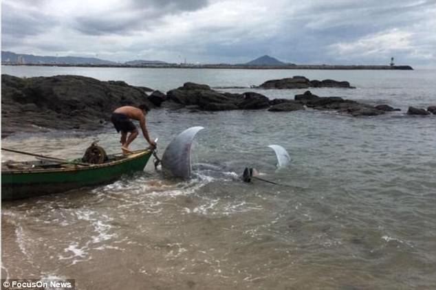Con cá đuối kéo chiếc thuyền nhỏ của người ngư dân suốt hai tiếng.