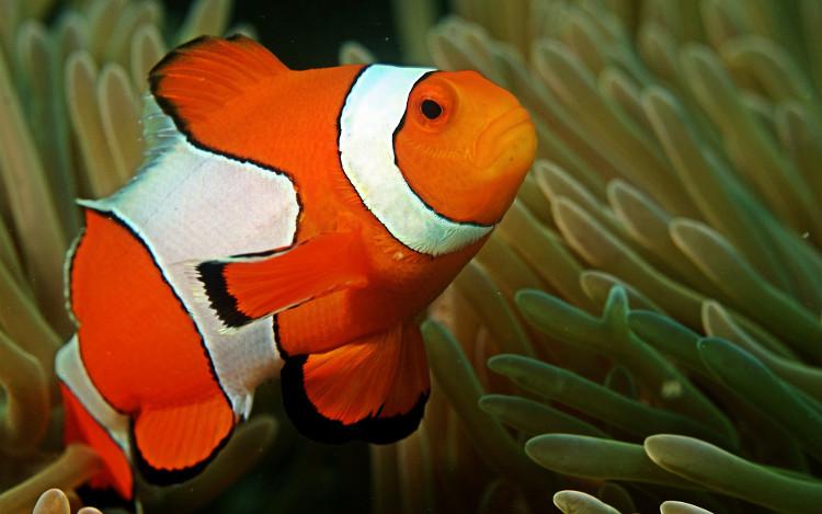 Khi cá mẹ chết, quá trình chuyển giới của cá đực sẽ diễn ra trong vài tuần.