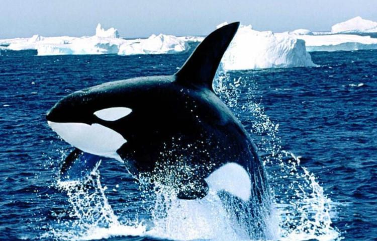 Cá voi sát thủ có cách cư xử xã hội phức tạp, kỹ thuật săn mồi thông minh và độc đáo.