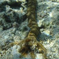 """Video: Hải sâm """"khủng"""" dài 1,5 mét dưới đáy Biển Đỏ"""