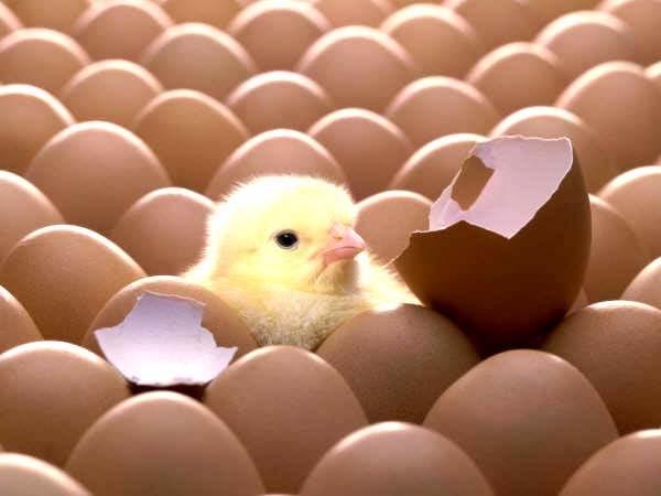 Gà mái sẽ làm đúng theo quy trình đó khoảng 4-5 lần cho đến khi ổ có khoảng 18-20 quả trứng