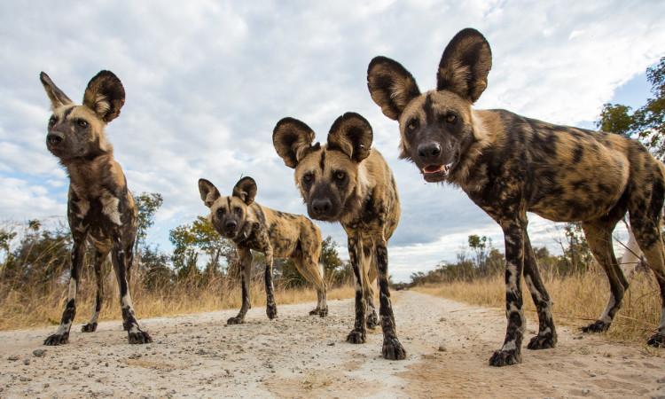 Số lượng chó hoang châu Phi đang giảm mạnh