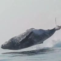 Cá voi lưng gù 40 tấn phi thân bay trên mặt nước