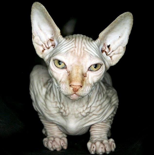 Mèo Sphynx đắt đơn giản vì nó hiếm.
