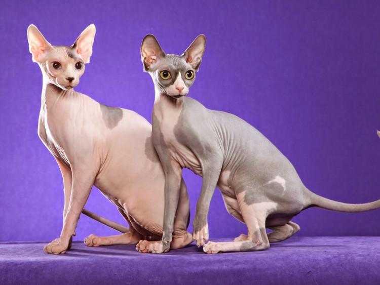 Quê hương của loài mèo này không phải là Ai Cập mà là Canada.