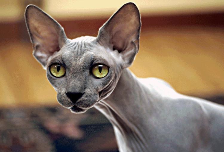 Mèo Sphynx là giống mèo đắt nhất thế giới.