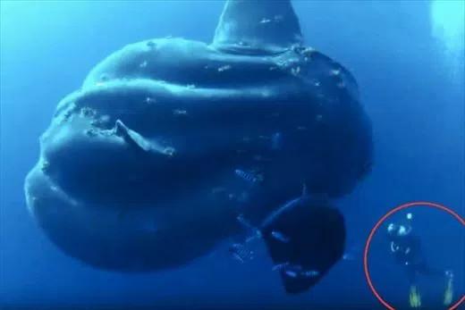 Loài cá thái dương mới