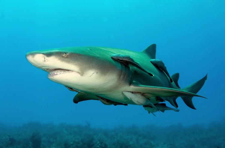 Cá mập chanh sẽ tấn công người nếu cảm thấy bị đe dọa.
