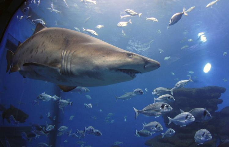 Số lượng nạn nhân của cá mập hổ chỉ xếp sau cá mập trắng.