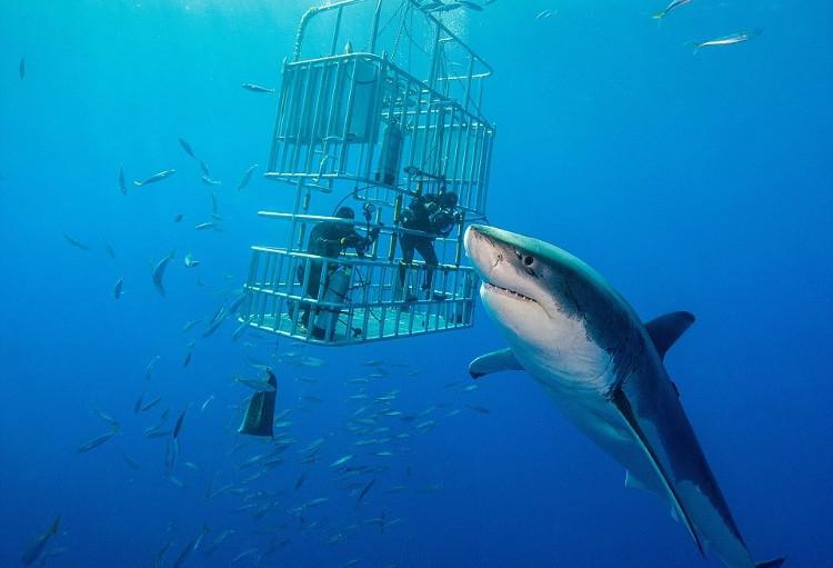 Thợ lặn được bảo vệ trong lồng sắt khi tiếp cận với cá mập trắng ở ngoài khơi Mexico.