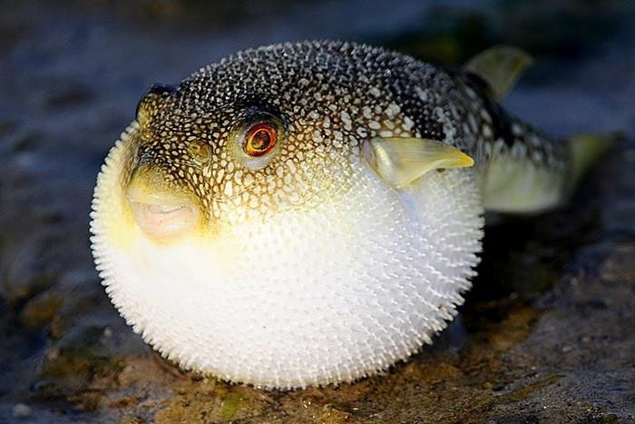 Tetroditoxin có trong cá nóc được coi là một trong những chất có độc tính mạnh nhất đối với hệ thần kinh