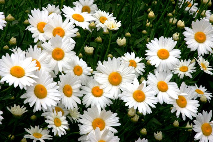 Hoa cúc Shasta