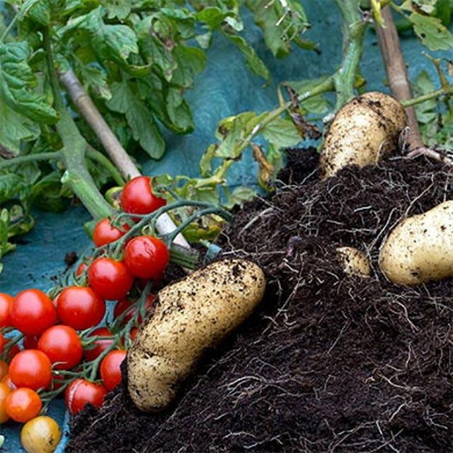 Khoai tây lai cà chua