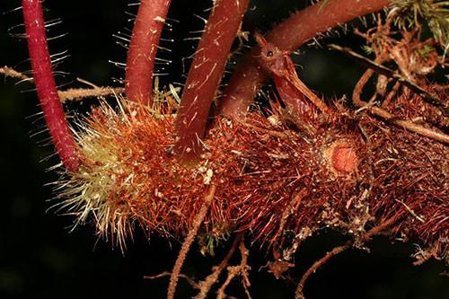 Thân rễ dạng củ với nhiều lông cứng của loài Me nguồn.