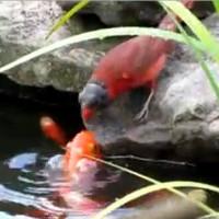 Chim sẻ mớm thức ăn cho đàn cá vàng