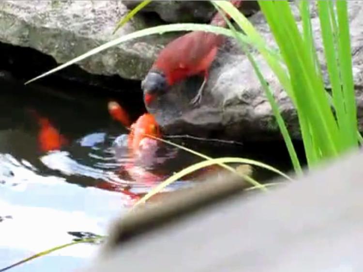 Chim sẻ đỏ đầu đen mớm mồi cho đàn cá vàng ở Mỹ.