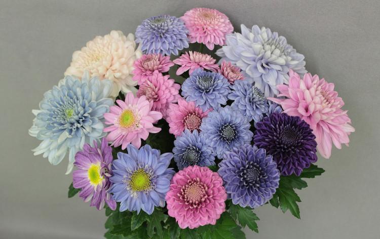 Hoa cúc màu xanh lam, xanh tím thì không được lai tạo dễ dàng