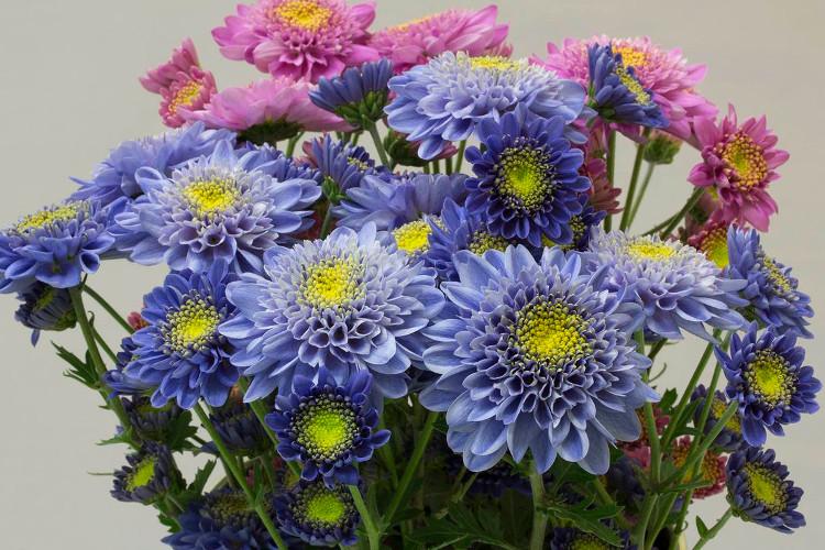 Sau 13 năm, các nhà khoa học Nhật đã cho ra đời một loại hoa cúc màu xanh vô cùng đặc biệt.