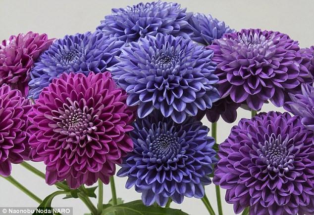 Do tác động của gene, các cánh hoa có màu xanh đậm nhạt khác nhau, không đồng đều