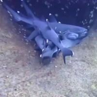 Bầy cá mập rúc vào nhau ngủ dưới đáy đại dương