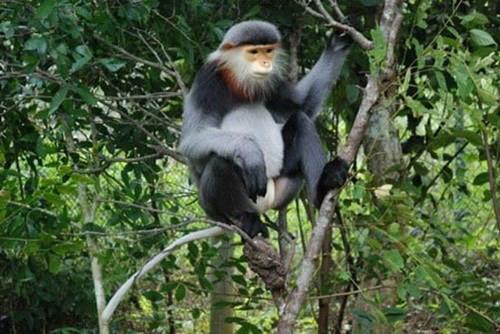 Tại độ cao 300m của núi Chứa Chan có khoảng 20 cá thể voọc chà vá chân đen sinh sống.